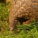 2011: A Devastating Year for Pangolins