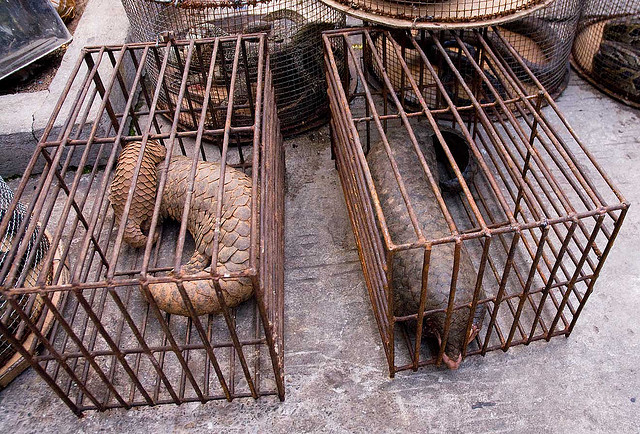 pangolins-in-cages-photo-credit-dan-bennett.jpg