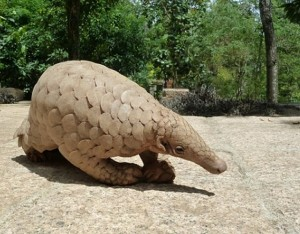 Hong Kong: 459 Pounds of Pangolin Scales Seized