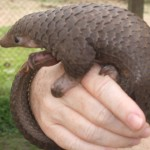 Uganda: Pangolin Scales Bound for China Seized