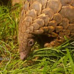 Thailand: Twelve Pangolins Seized, One Arrested