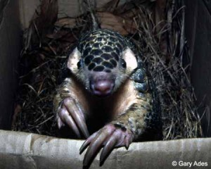 The IUCN SSC Pangolin Specialist Group has launched a new website. Photo © Gary Ades